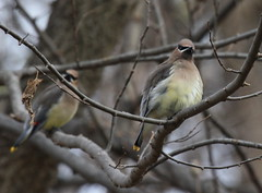 Two of  Kind (Magnificat Photos) Tags: nature birds canon feathers iowa xsi waxwings