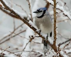 Blue Jay (snooker2009) Tags: blue winter snow bird fall nature birds jay wildlife migration photocontesttnc11 dailynaturetnc12 photoofthedaynwf12