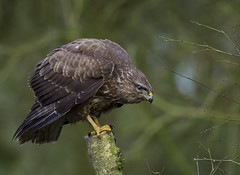 Buzzard (Blackwolfskye) Tags: bird woodland nikon hawk perch