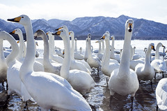 Angry Swan in Water with Group (pics721) Tags: travel blue winter white mountain lake snow bird ice nature water animal japan outdoors japanese swan asia hokkaido wildlife group wing avian whooper kussharo
