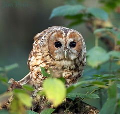 Wise Owl (Grand-Poobar) Tags: life sleeping wild portrait brown white black color tree cute green bird eye nature colors beautiful beauty look animal yellow closeup forest woodland one freedom bill leaf big eyes close nocturnal im