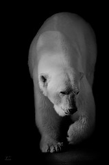 Left foot first (kaddisudhi) Tags: sanfrancisco bear blackandwhite white mammal zoo published fineart polarbear marching predator 70300mm claws sudhi kaddi sfozoo kaddisudhicom