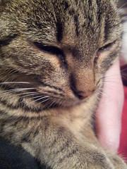 Merlina (tafu1984) Tags: cute beautiful cat grey eyes sweet tiger grau katze mieze hauskatze ss tigerkatze
