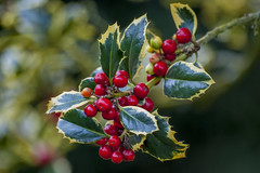 "Ilex aquifolium ""Argentea Marginata"" (silver-margined holly) (PriscillaBurcher) Tags: holly acebo ilexaquifolium englishholly europeanholly christmasholly dsc0062 silvermarginedholly"