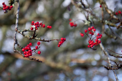 Red Berries (duncan_ireland) Tags: winter scotland inverness farr strathnairn inverarnie