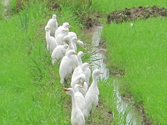 We all wait (Abraham Jacob N) Tags: india green bird kerala paddyfield kottayam