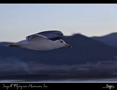 Seagull Flying over Marmara Sea (SVA1969) Tags: seagulls mountains eye ojo flying pluma montaas marmara
