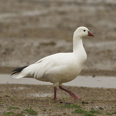 ROSS'S GOOSE - ADULT (nsxbirder) Tags: ohio adult rosssgoose chenrossii caesarcreekstatepark harveysburg