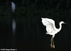Snowy Egret / Great Egret - Bayou Courtableau, Louisiana (Image Hunter 1) Tags: light shadow reflection nature water birds flying wings louisiana flight bayou swamp marsh wingspan greategret snowyegret canoneos7d birdslouisiana bayoucourtableau