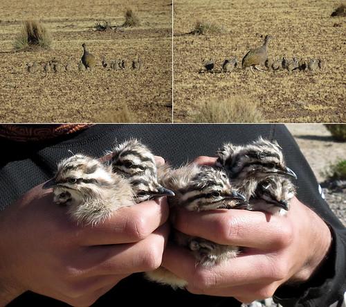 Kiula, Perdiz de la puna, Tinamotis pentlandii (father and chicks)