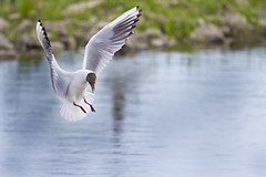 black-headed gull (Alchimi) Tags: