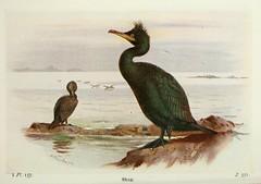 n519_w1150 (BioDivLibrary) Tags: greatbritain birds eggs shag americanmuseumofnaturalhistorylibrary taxonomy:binomial=phalacrocoraxaristotelis 598242 bhl:page=7583428 dc:identifier=httpbiodiversitylibraryorgpage7583428 artist:viaf=41942046