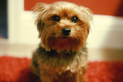 Pup (brittani m.) Tags: dog baby brown yorkie puppy eyes furry cuddly snicky turdbutt