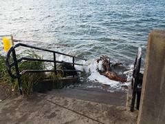 Driftwood delivery (alex1derr) Tags: driftwood climatechange globalwarming waldport sealevelrise kingtide alseabay globalchange kingtideor kingtideor2012 bestoforkingtide