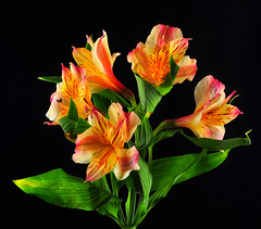 Alstromeria Blossoms (Bill Gracey) Tags: lighting pink flowers red flores flower color macro green nature fleur leaves yellow colorful violet softbox trigger macrolens macrophotography alstromeria peruvianlily directionallight offcameraflash lilyoftheincas strobist tabletopphotography radiotrigger yn560 yongnuorf603 yn560ii flowerthequietbeauty