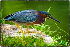 Focused Green Heron (EXPLORE, July 17 #81) (RKop) Tags: 70400gssmsony a77mk2 raphaelkopanphotography forestpark stlouis missouri sony