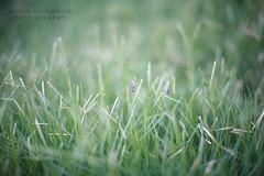 G*M   ( Explored #2 ) (Maryam Almohaimeed |   ) Tags: morning plant cute love field grass landscape photography hope yahoo gm photographer natural outdoor arab saudi arabia sa lovely saudiarabia ksa  qassim     buraydah  insidefield