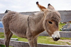 ma come sei bello (Franco Vannini) Tags: dolomiti dolomites odles sassrigais fermeda seceda valgardena valdifunes odle pieralongia somarello donkey asinello