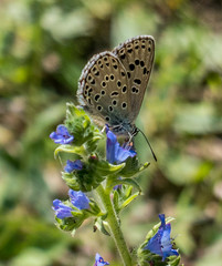 Large Blue butterfly (DigPeter) Tags: bulgaria butterfliesblues butterflymoth europe largeblue peterphoto bachkovskimanastir plovdiv