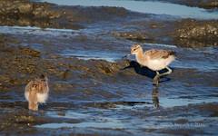 Hey, bro, mom's looking for you! (Nancy Asquith) Tags: americanavocet recurvirostraamericana chick young bird shorebird sanfranciscobay
