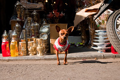 watchdog (_Maganna) Tags: outside dog pointyears ears street pavement vendor souvenirs vietnam travel