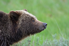Grizzly Bear Profile - 9989b+ (teagden) Tags: grizzly bear grizz grizzlybear grizzlysow sow jenniferhall jenhall jenhallphotography jenhallwildlifephotography wildlifephotography wildlife naturephotography nature photography nikon wild profile closeup