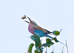 Lilac Breasted Roller and the Grasshopper (Kitty Kono) Tags: lilacbreastedroller kenya kittyrileykono