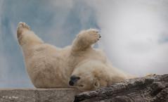2016-08-17-0291 (BZD1) Tags: animals beren ijsbeer roofdieren polarbears bear polarbear nature mammal animal carnivore ursidae ursusmaritimus zookrlsruhe natura