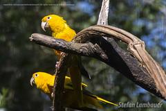 Ararajuba Verde e Amarelo (Stefan Lambauer) Tags: ararajubaverdeeamarelo bird ave amarelo verde ararajuba fozdoigua parquedasaves birds tourism turismo parquenacionaldoigua stefanlambauer 2016 brasil brazil paran br