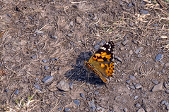 Round Wales Walk 42 - Painted Lady (Nikki & Tom) Tags: walescoastpath ceredigion wales uk butterfly paintedlady