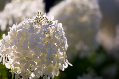 White Flowers (josullivan.59) Tags: wallpaper white 3exp evening texture toronto tamron150600 ontario august shadow day detail flowers highpark lightanddark canon6d canada clear nicelight nature backlit 2016