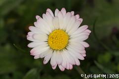 cf. Bellis sp. (Lus Gaifm) Tags: bellissp lusgaifm macro natureza nature planta plantae flor flower senhoradasneves serradarga