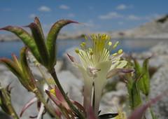 Sierra columbine (Jeff Goddard 32) Tags: highsierra sierranevadamountains california inyocounty wildflowers sierracolumbine aquilegiapubescens alpine
