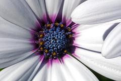 IMG_6981a (judyflo1) Tags: flowers macro daisy africandaisy
