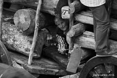 [Ti Teresa, muito afoita] (j o a n a s a n t o s) Tags: beiraalta guarda tradio carrosdebois bull festabrava touros oxcart patrimnio raia fronteira raya capeiaarraiana capeia aldeiavelha sabugal blackandwhite forco monochrome