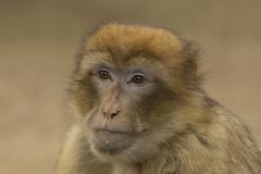 Berberaap (Jan de Neijs Photography) Tags: berberaap berber aap ouwehands ouwehandsdierenpark zoo dierentuin tamron tamron150600