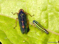 Leafhoppers, Coelidiinae & Fusigonalia? (Ecuador Megadiverso) Tags: andreaskay ecuador cicadellidae hemiptera planthopper truebug coelidiinae fusigonalia