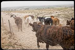 la debandade DxOFP LM+35 1003052 (mich53 - Thanks for 3000000 Views!) Tags: btail leicamtype240 2016 dunes summiluxm35mmf14asph tlmtre animaux dbandade bovins normandie normandy paysage manche cattles rinder staub dnen cattle dust sables action