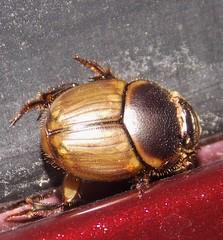 Gazelle Scarab (Keith Roragen) Tags: newmexico insect coleoptera beetle scarabaeidae scarab dungbeetle gazellescarab digitonthophagus gazella