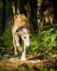 _D7K4960.jpg (markiisi) Tags: strmberginpuisto dogpark pitjnmki pitsku latesummer galgoespaol guiro galga koirapuisto cordelia julius