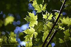 Maple Summer Dance (joyolsonnichols) Tags: nichols nicholsphoto joynicholsartworkandphotography leaves mapleleaves maple summer woods forest nature trees summerbeauty september