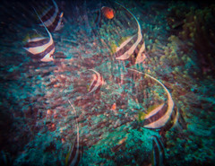 double exposure underwater bannerfish and corals (tobiasbegemann) Tags: fish bannerfish underwater analog double exposure coral tobias begemann saarbrcken germany world street landscape people animal travel photography creative commons flickr outdoor