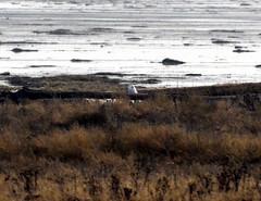 Snowy Owl (glenbodie) Tags: glen bodie glenbodie dncb dike 201350 snowy owl