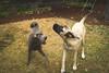 Isabelle & Blue (Sage Goulet (SAGO PHOTO)) Tags: englishmastiff mastiff sharpei mastiffandsharpei pei dogs animals mansbestfriends sagegoulet sagophoto sharpeiandmastiff