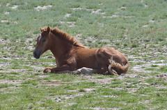 wild foal (simon_diet) Tags: rumnien romania donaudelta danube delta pferd horse fohlen foal