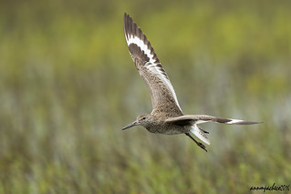 willet incoming