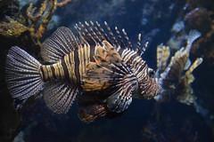 Pterois volitans (badit_boy) Tags: lionfish scorpionfish scorpenavolante barcelona aquarium toxin volitans barça venom