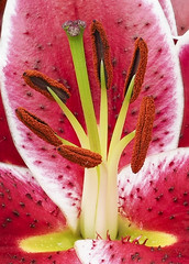 Pistil Close-up (Roniyo888) Tags: pistil closeup red lily petal anthers