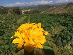 Orto e ortaggi di stagione. (esterinaeliseo1) Tags: ortaggi coltivare allaperto orto fioridizucche