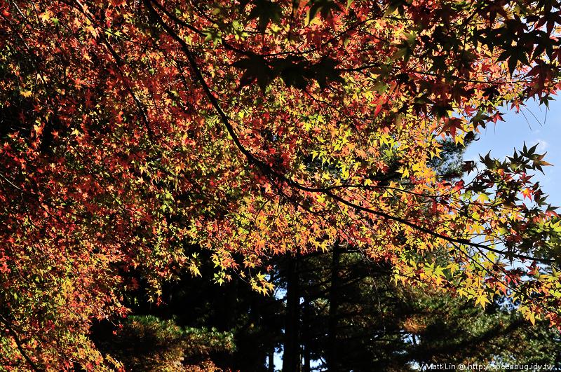 福壽山農場楓紅-41